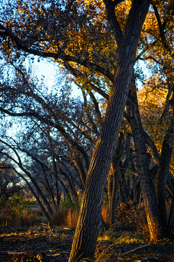 cottonwood trees with golden leaves