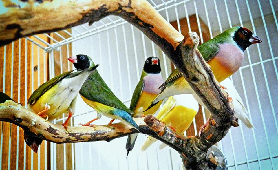 Lady Gouldian Finches in cage