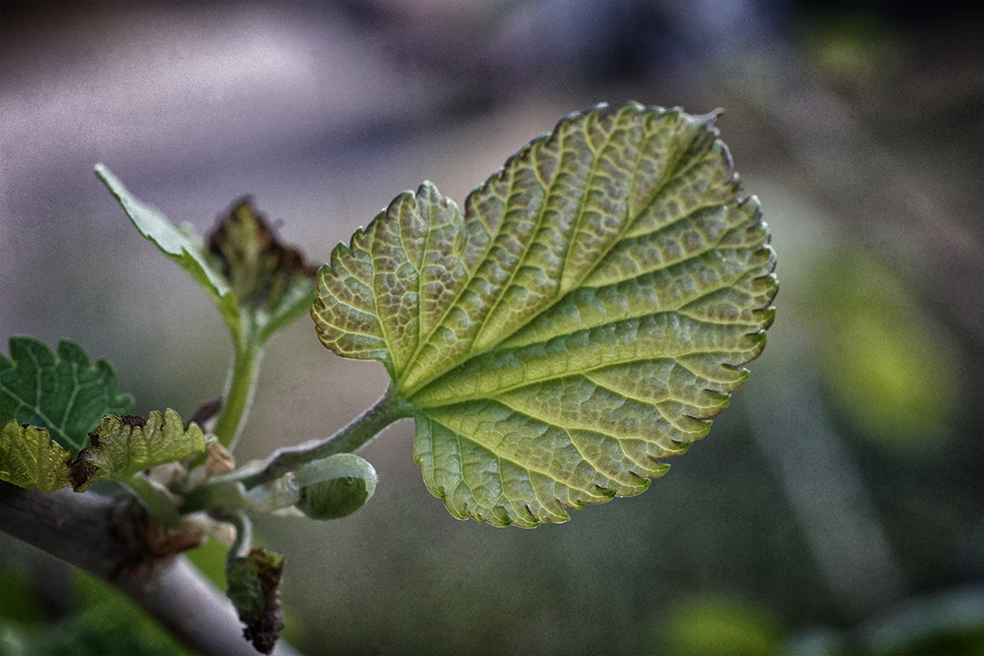 new leaf on mulberry tree