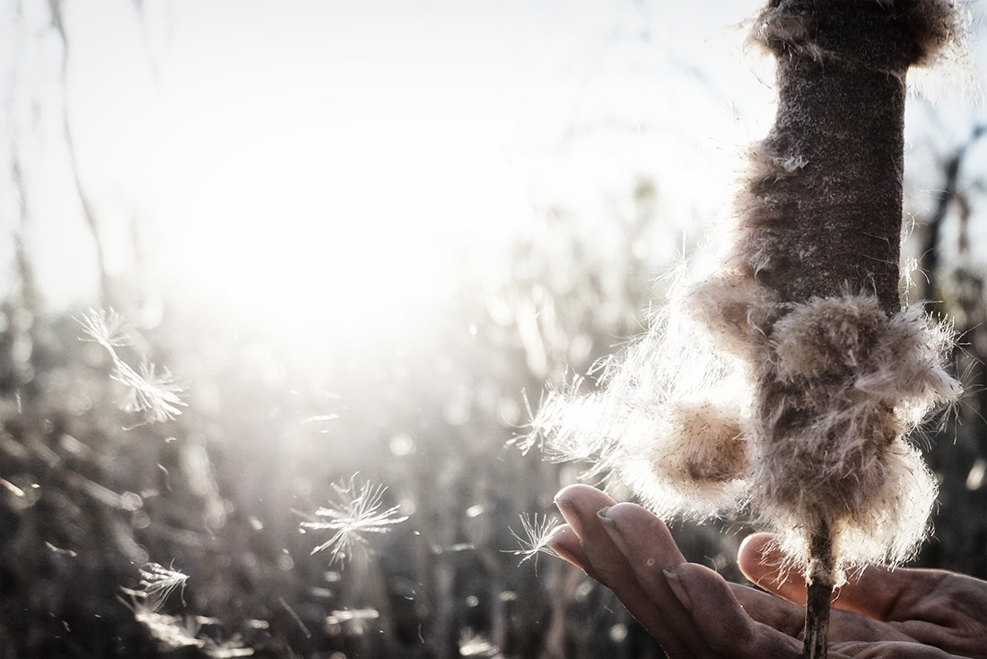 hand with cattail and seeds