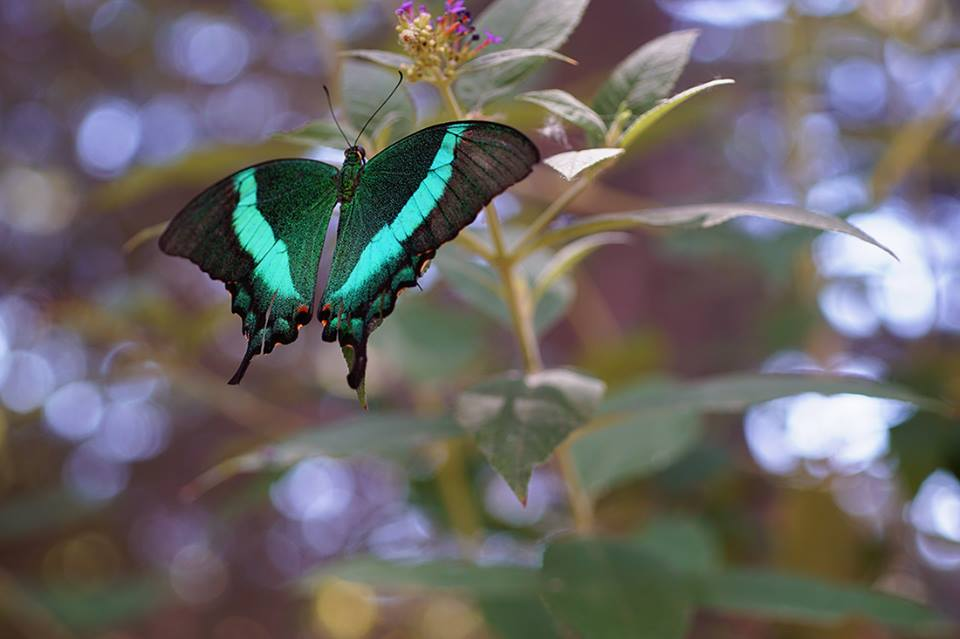 green irridescent butterfly