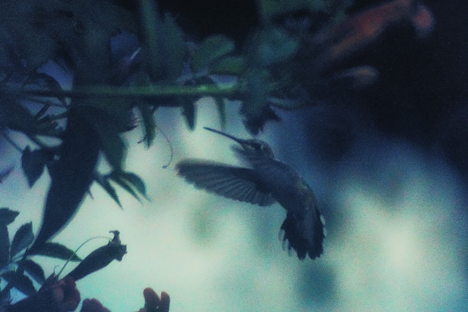 hummingbird in twilight
