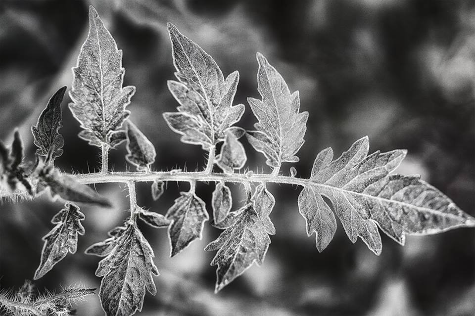 black and white tomato leaf