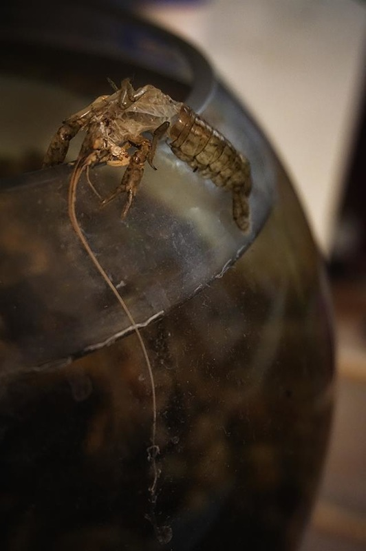 crayfish exoskeleton on side of glass bowl