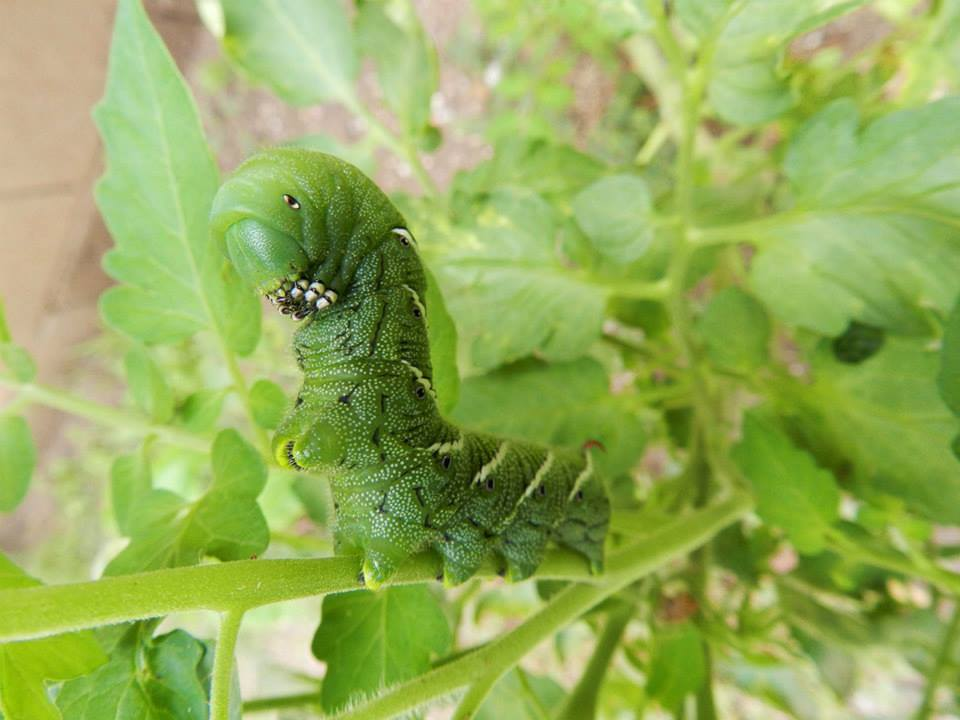 caterpillar of sphinx moth