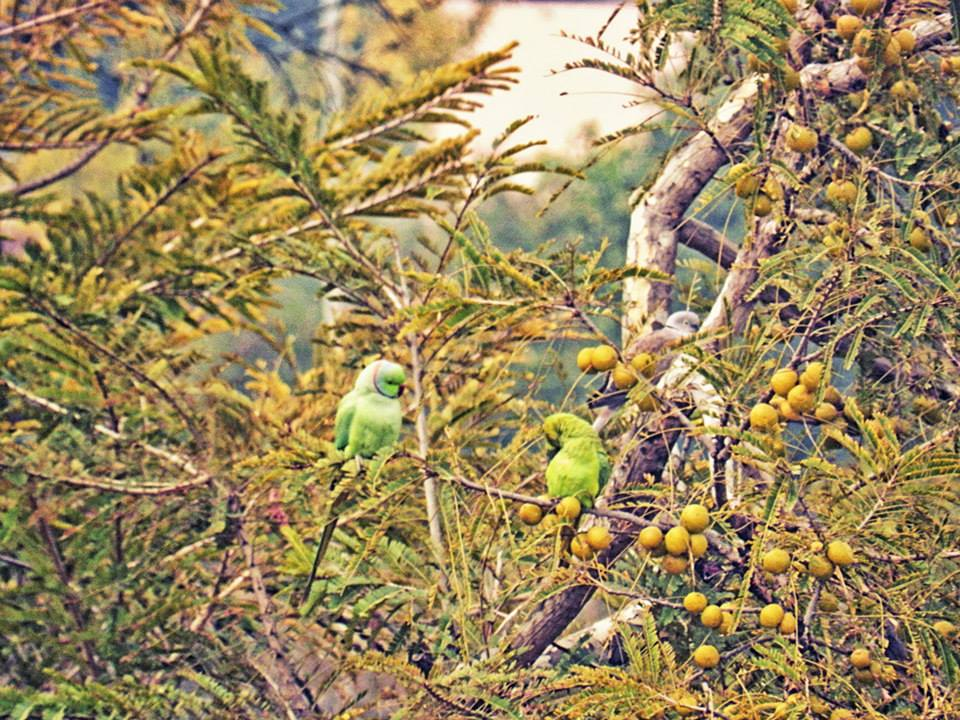 green parrots preen in tree with green fruit