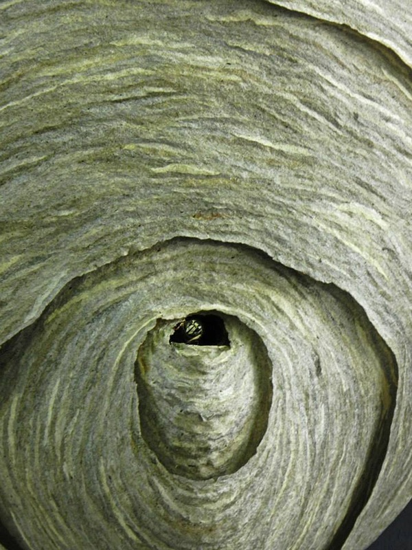 wasp looking out of paper nest