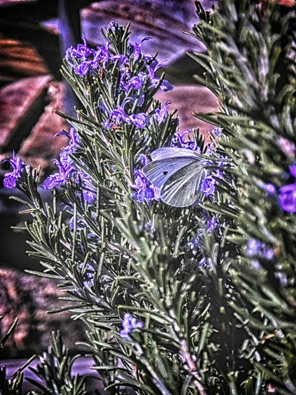 purple butterfly on rosemary bush