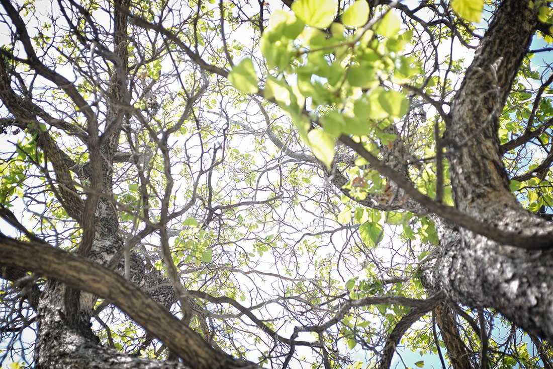 looking up at tangle of tree branches