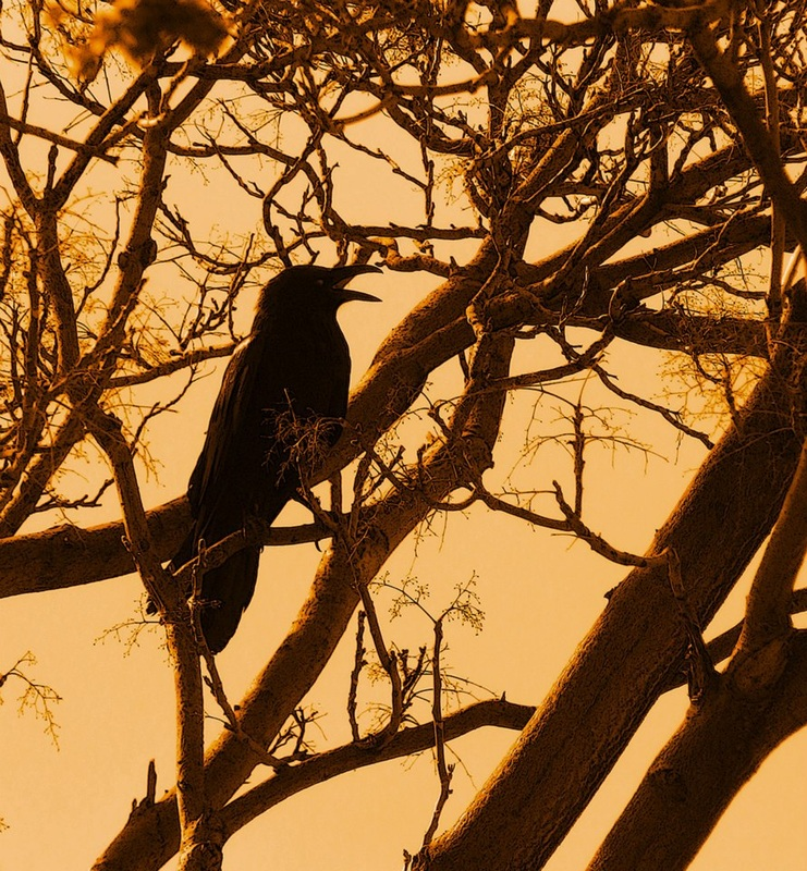 crow in tree against orange sky