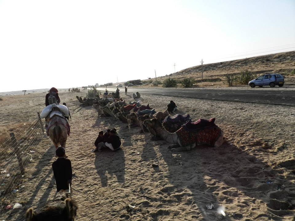 camel caravan along roadside and rows of resting camels
