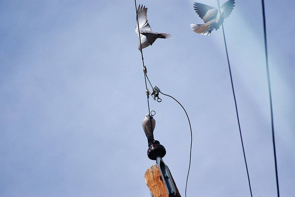 doves land on powerlines