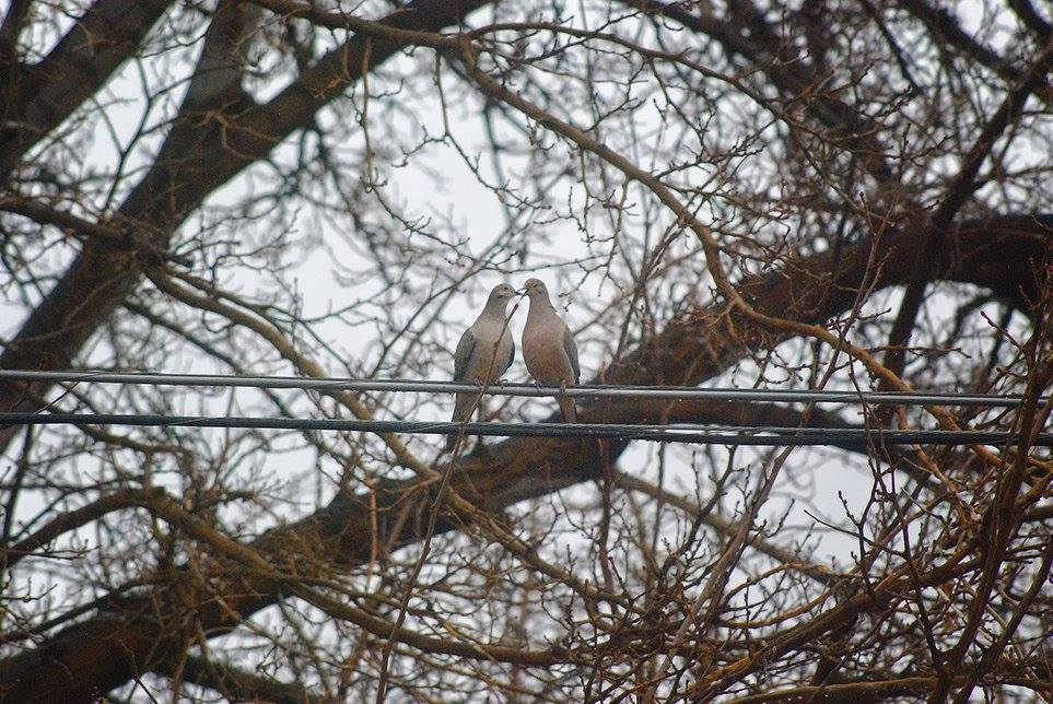two doves in tree