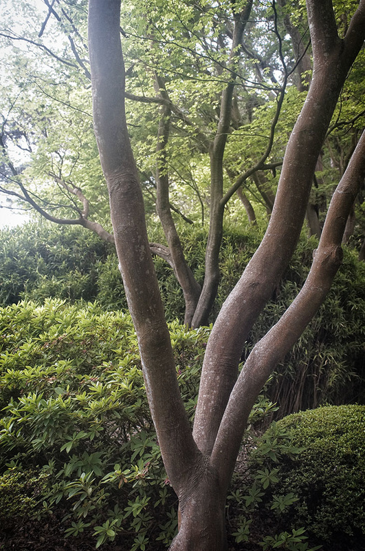 trees in Japanese Tea Garden