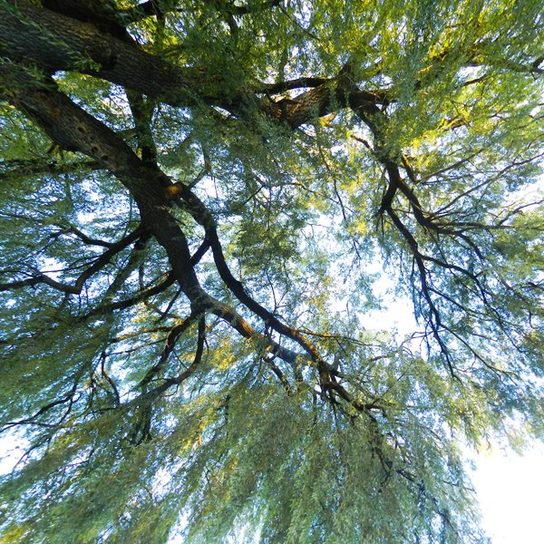 willow tree, looking up at
