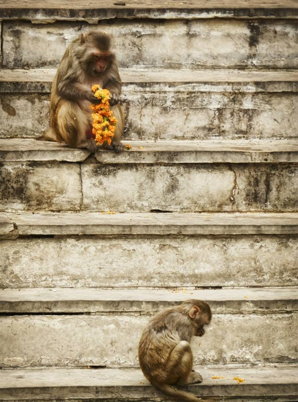 monkeys sit on steps and eat marigold garland