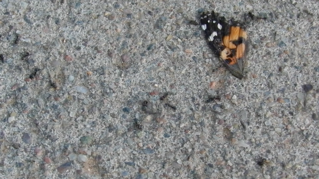 butterfly wing being carried away by ants