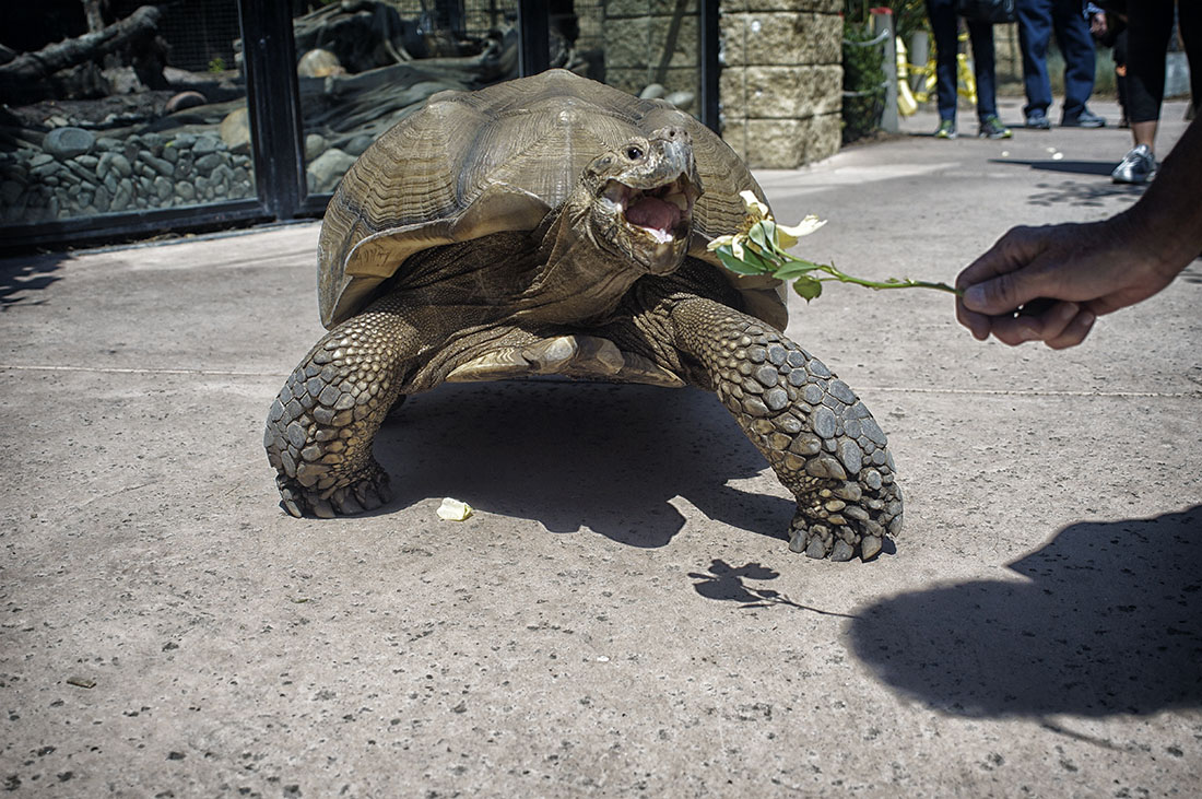 tortoise eats flower