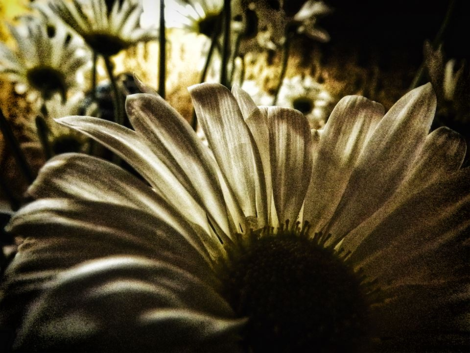 High contrast daisy