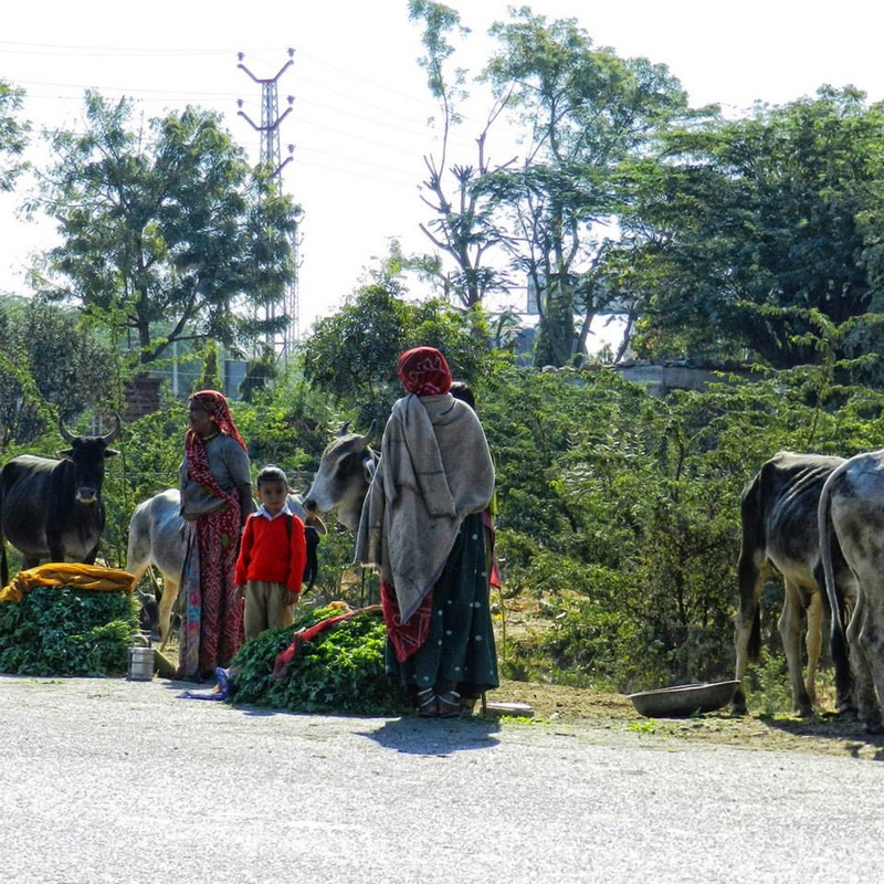 women and children with cows on roadside, selling grass to feed the cows