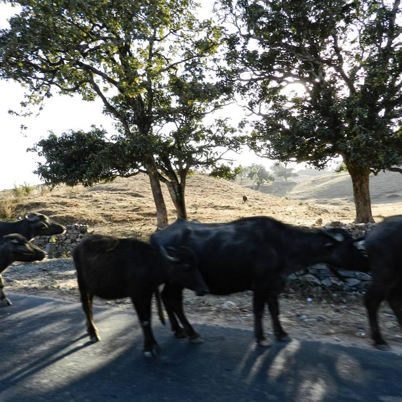 water buffalo along roadside