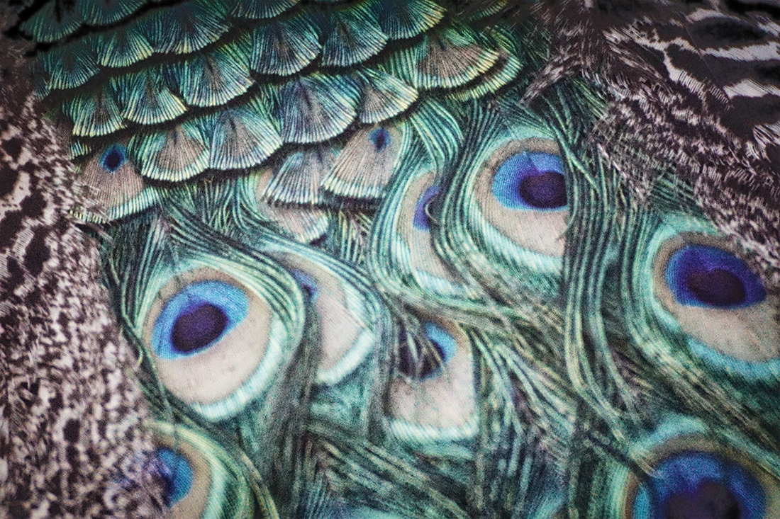 peacock feathers up close