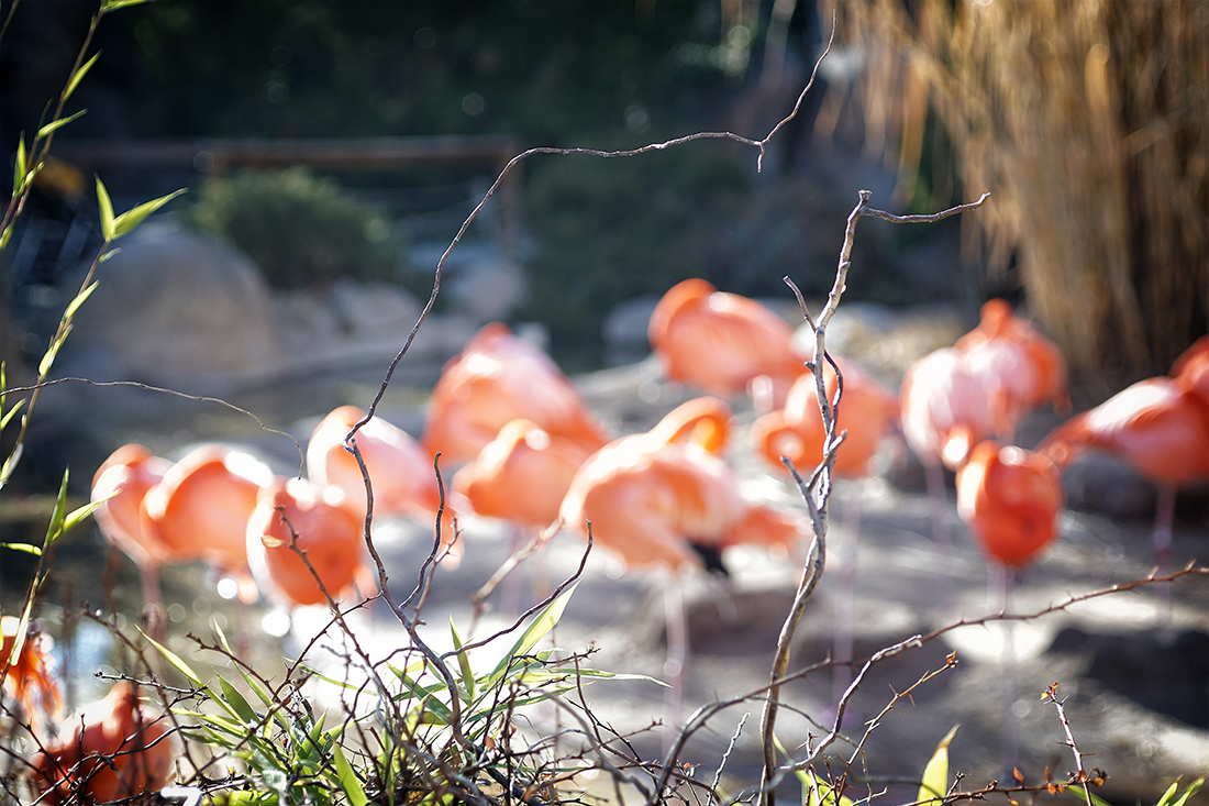 out of focus flamingos