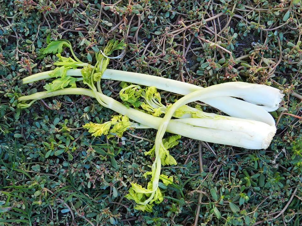 celery stalks lying on ground