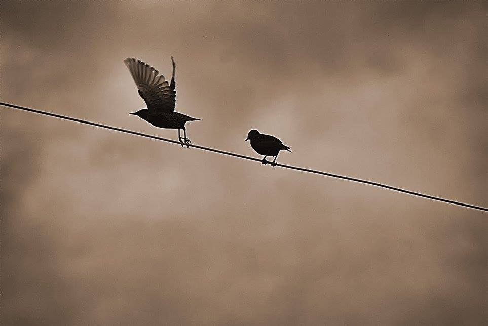 starlings fly off power line