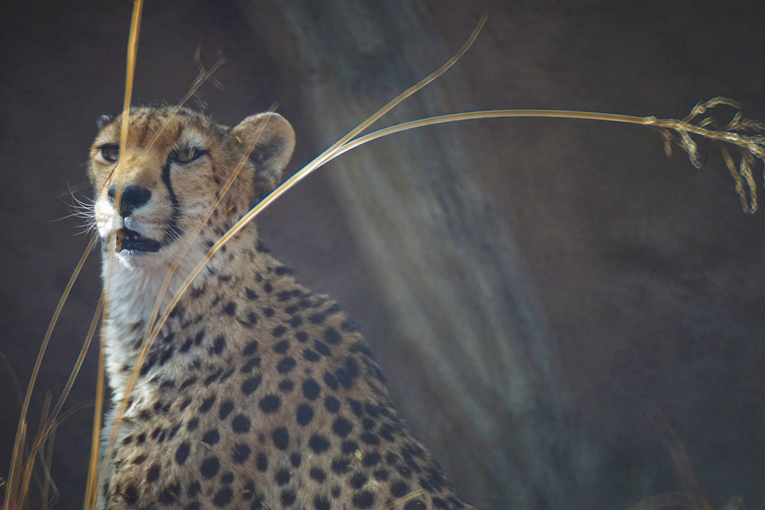 cheetah with grasses