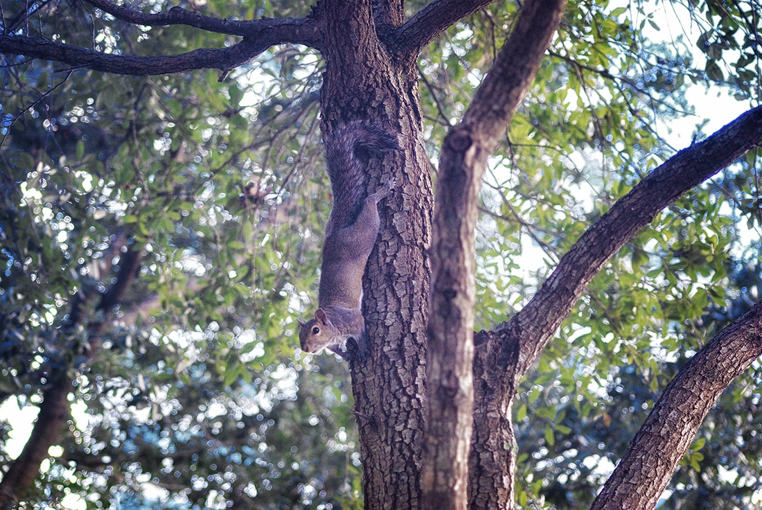 squirrel in oak tree st. petersburg
