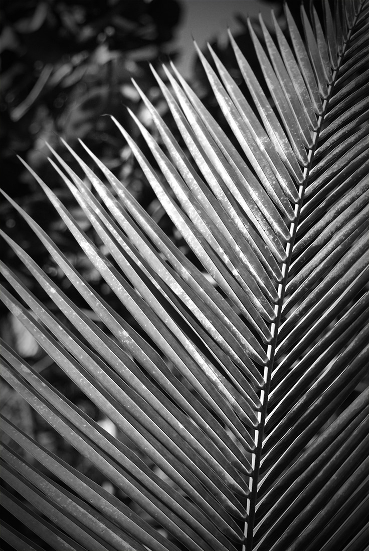 palm frond black and white