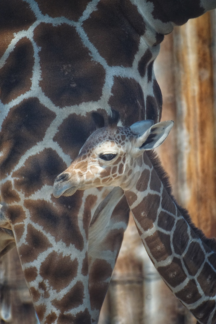 baby giraffe and mother June 2017 Albuquerque BioPark