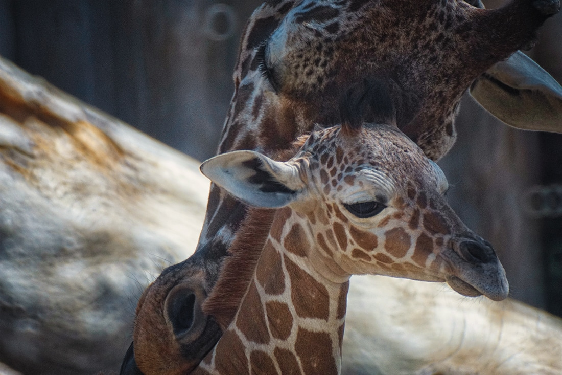 baby giraffe nuzzled by mother June 2017 Albuquerque BioPark