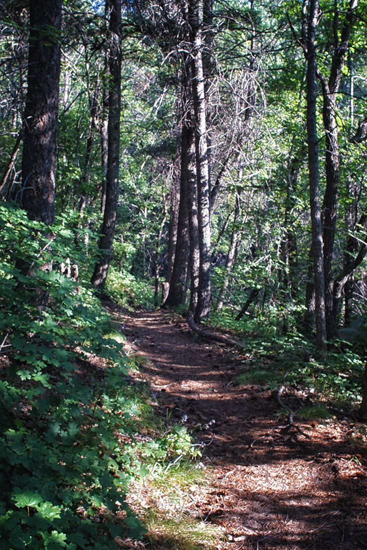path in Manzano mountains lined with small maple trees