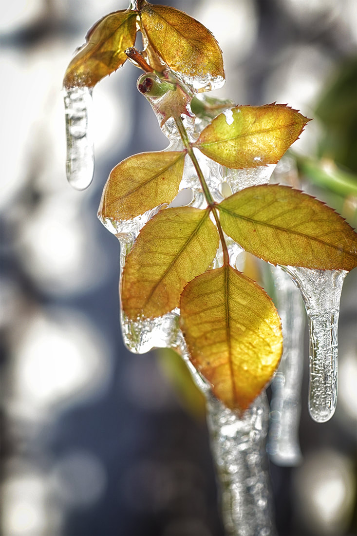 icicles on rose leaves