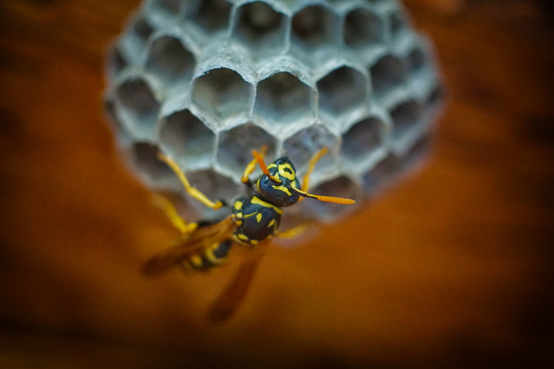wasp building nest