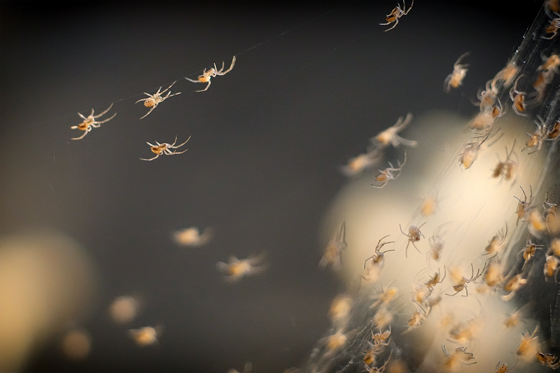Newly hatched widow spiderlings