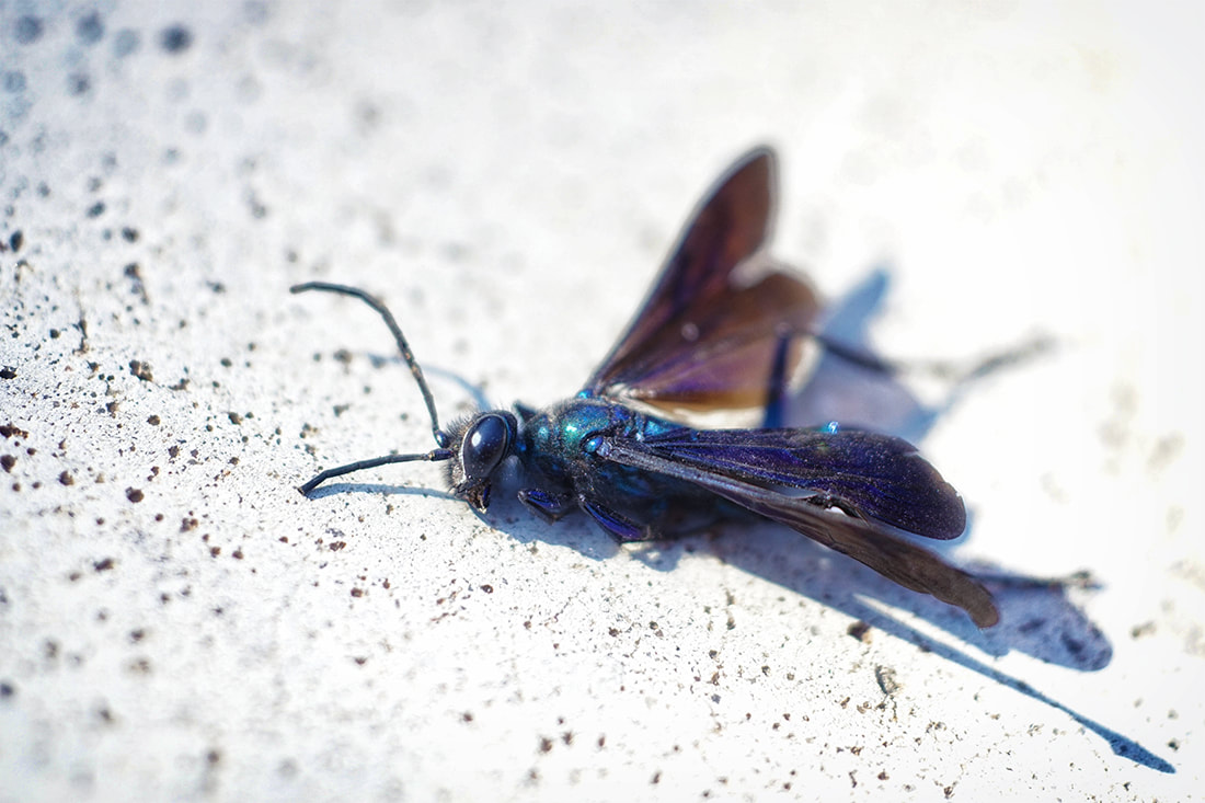 dying metallic blue tarantula wasp