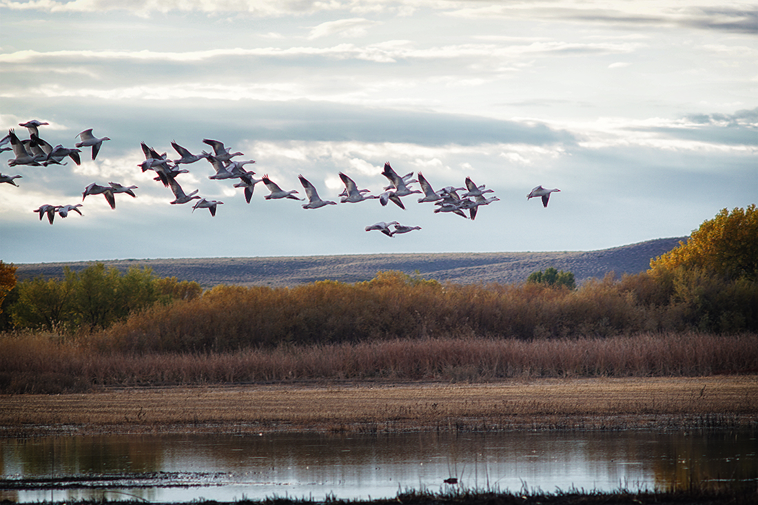 geese in formation fly over bosque
