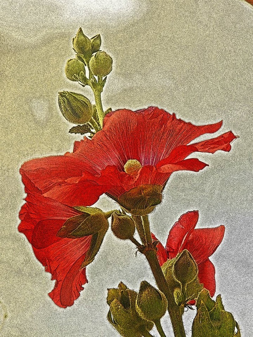 photo of hollyhocks styleized to look like a drawing