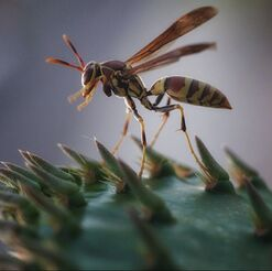 wasp on cactus