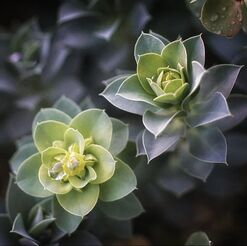 creeping myrtle spurge