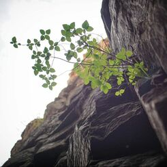 plant grows from rocks on cliffside