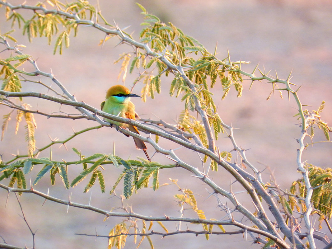 green bee eater in India