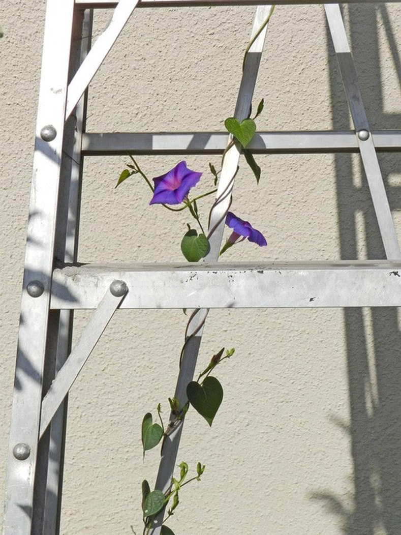 morning glory growing up a ladder