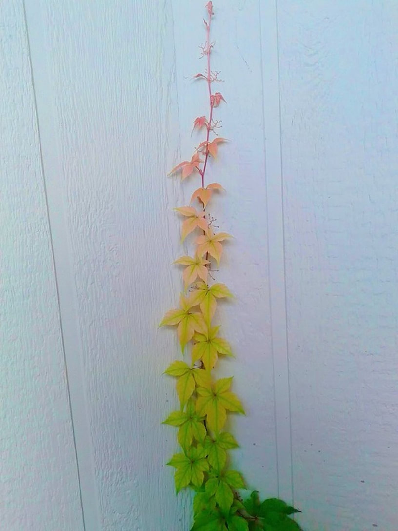 vine changing colors red at tip to orange to yellow to green