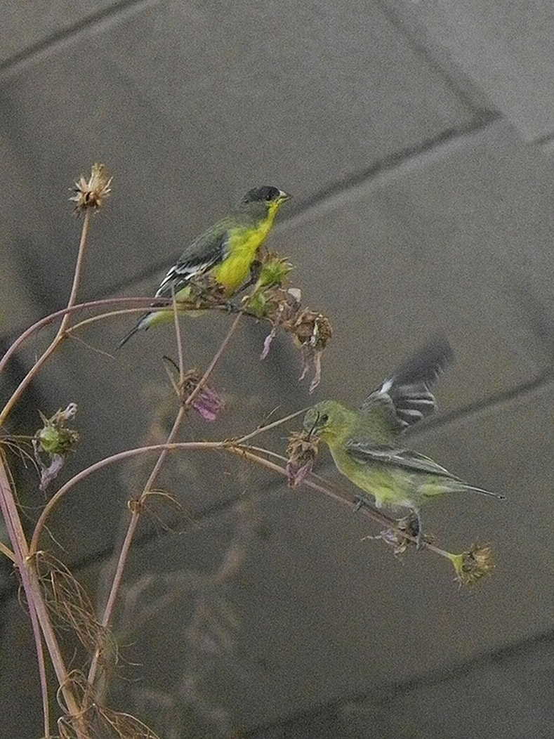 yellow finches eating seeds from cosmos