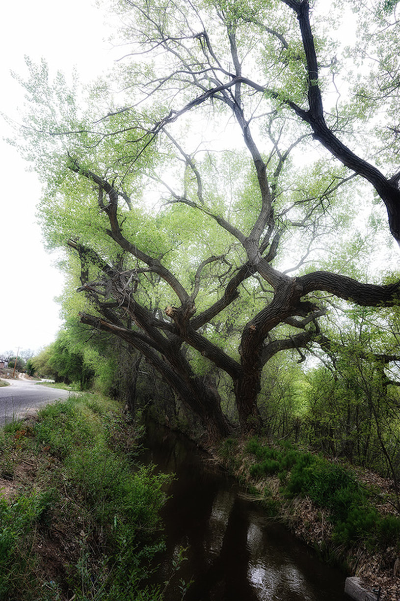 cottonwoods growing alongside acequia