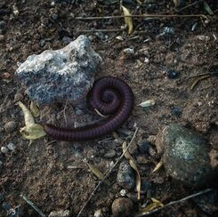 desert millipede curled into spiral